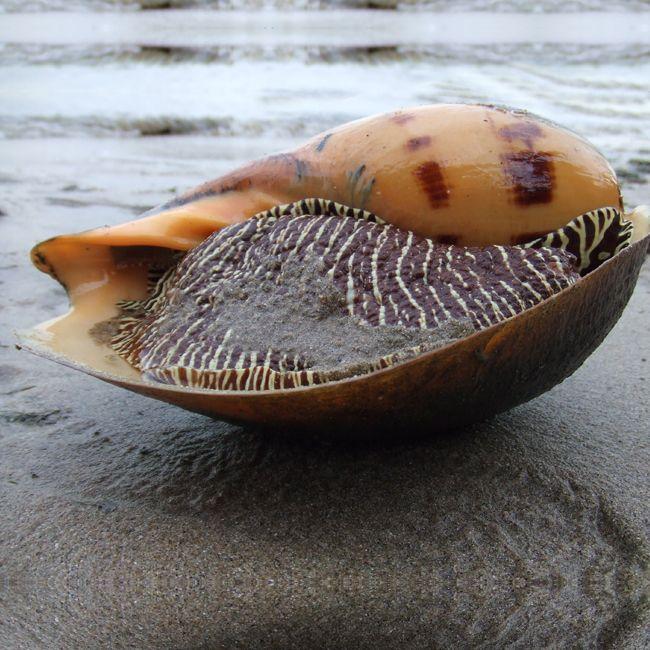 Melo Melo Sea Snail