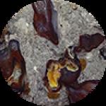 Colus Fossil