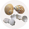 Florida Auger Shell